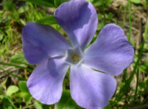 Vinca major L. (Apocynaceae)