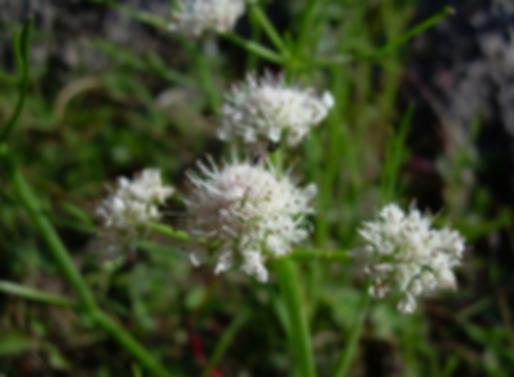Oenanthe fistulosa L. (Apiaceae)