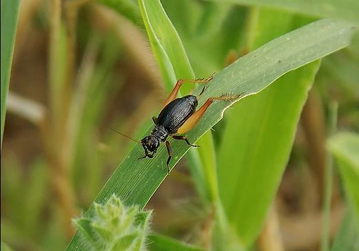 Trigonidium cicindeloides (Rambur, 1839)