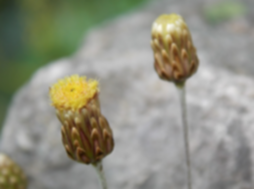 Phagnalon rupestre(L.) DC. (Asteraceae)