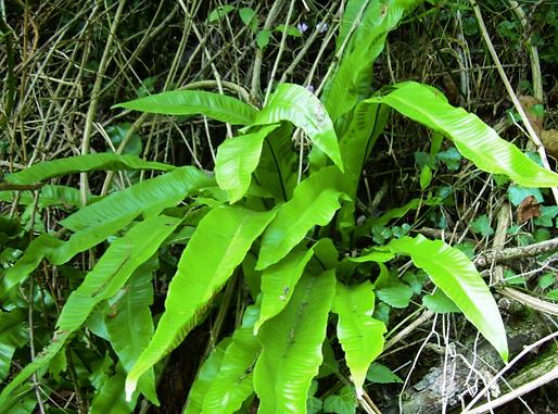 Phyllitis scolopendrium (L.) Newman (Aspleniaceae)