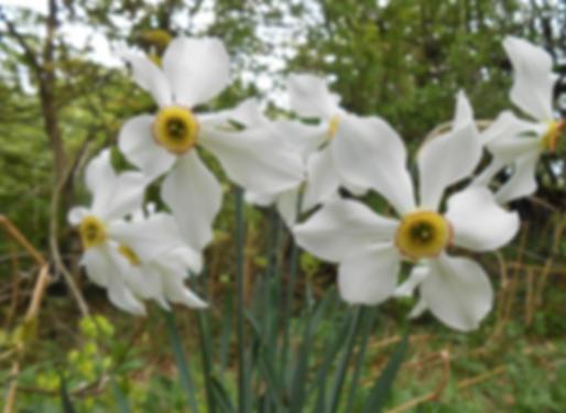 Narcissus poeticus L. (Amaryllidaceae)
