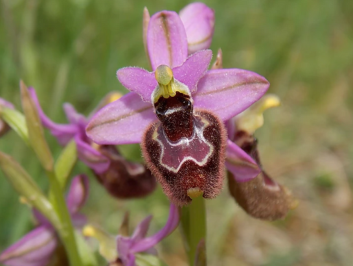 Ophrys x inzengae (Tod.) Nyman - (Ophrys bertolonii x O. tenthredinifera)