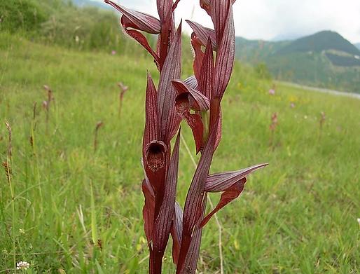 Serapias vomeracea