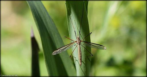 Tipula oleracea Linnaeus, 1758