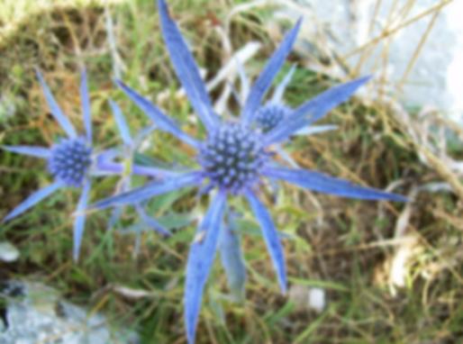 Eryngium amethystinum L. (Apiaceae)