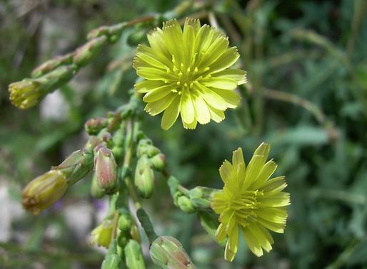 Lactuca serriola L. (Asteraceae)