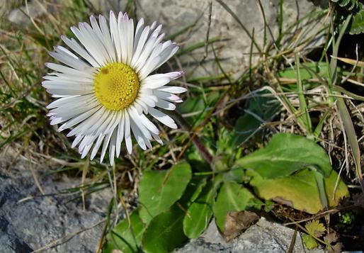 Bellis sylvestris Cyr. (Asteraceae)