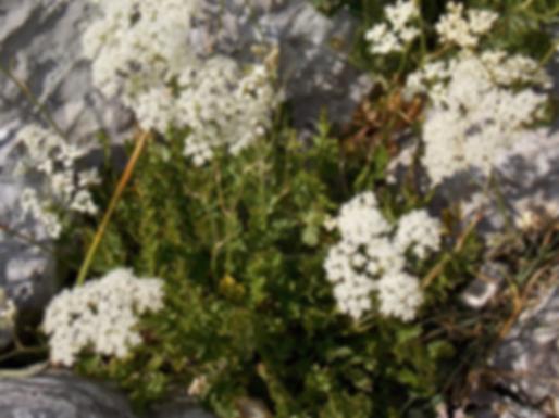 Pimpinella tragium Vill. (Apiaceae)