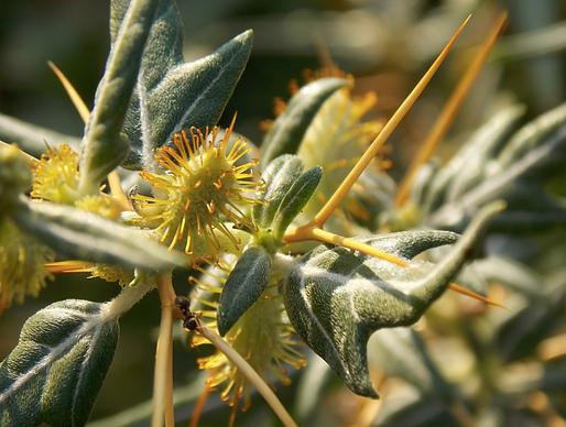 Xanthium spinosum L. (Asteraceae)