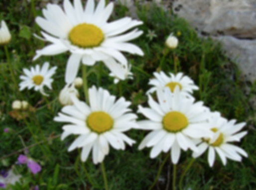 Hieracium racemosum W. et K. (Asteraceae)