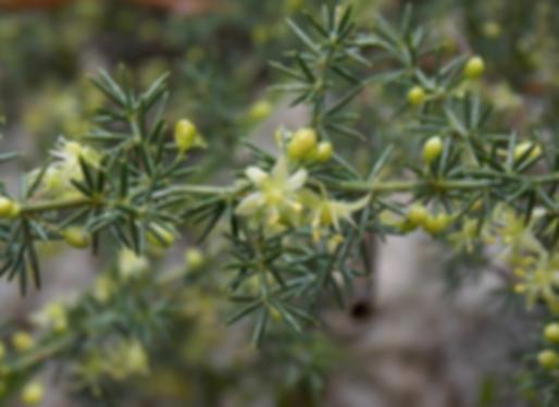 Asparagus acutifolius L. (Asparagaceae)