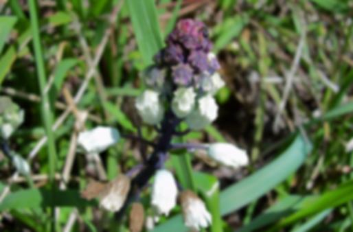 Bellevalia romana (L.) Sweet (Asparagaceae)