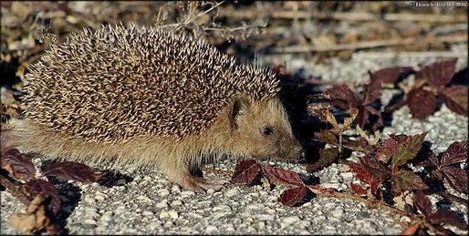Erinaceus europaeus Linnaeus, 1758alis Linnaeus, 1766