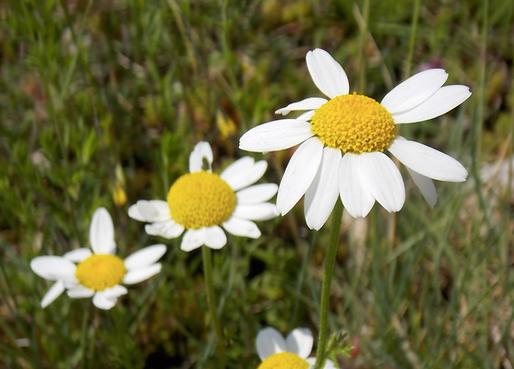 Anacyclus clavatus (Desf.) Pers. (Asteraceae)