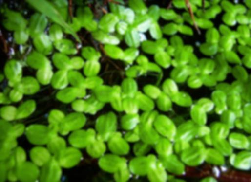 Arum italicum Mill. (Araceae)