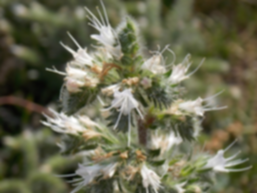 Echium italicum L. (Boraginaceae)