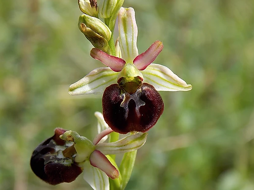 Ophrys pannionis