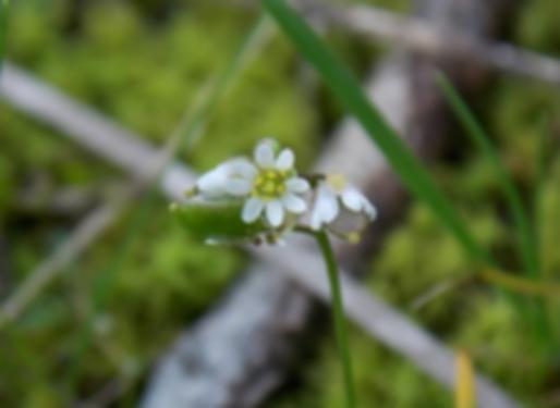 Erophila verna(L.) Chevall. (Brassicaceae)