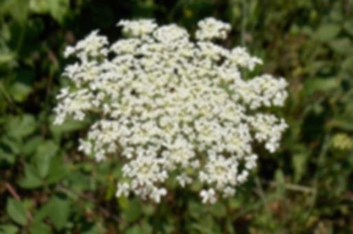 Daucus carota L. (Apiaceae)
