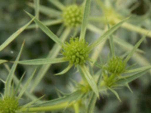 Eryngium campestre L. (Apiaceae)