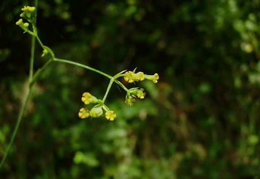 Bupleurum praealtum L. (Apiaceae)