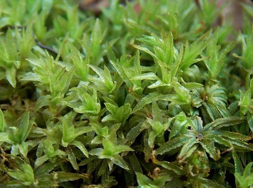 Atrichum undulatum (Hedw.) P. Beauv. (Polytrichaceae)