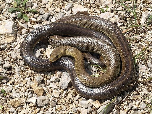 Colubro di Esculapio  (Zamenis longissimus)