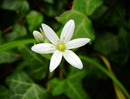 Allium pendulinum Ten. (Amaryllidaceae)
