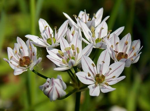 Allium trifoliatum Cirillo (Amaryllidaceae)