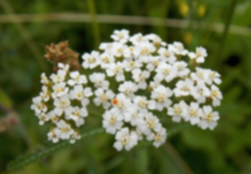 Achillea collina (Wirtg.) Heimerl (Asteraceae)