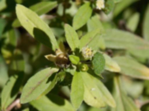 Eclipta prostrata (L.) L. (Asteraceae)