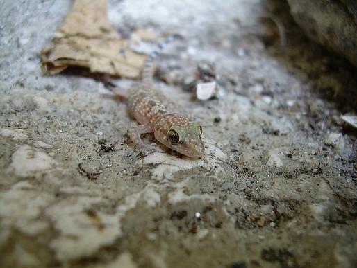 Geco verrucoso  (Hemidactylus turcicus)