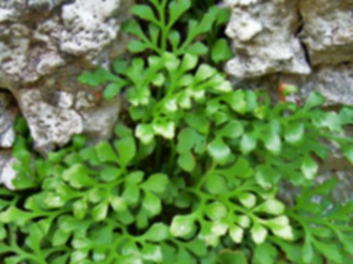Asplenium ruta-muraria L.(Aspleniaceae)