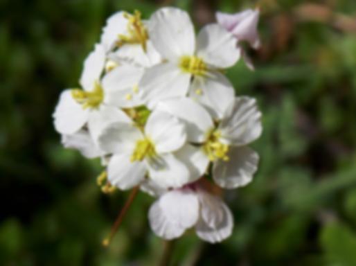 Diplotaxis erucoides(L.) DC. (Brassicaceae)