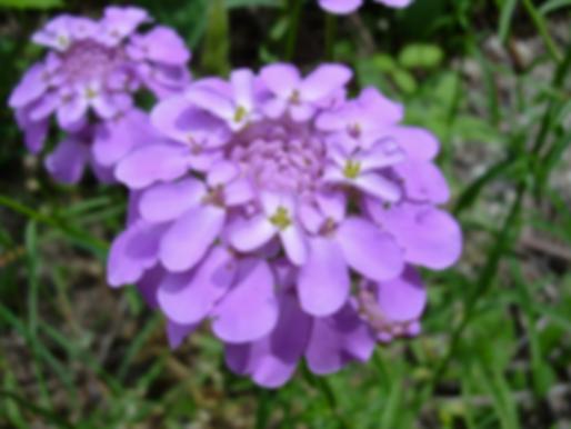 Iberis umbellata L. (Brassicaceae)