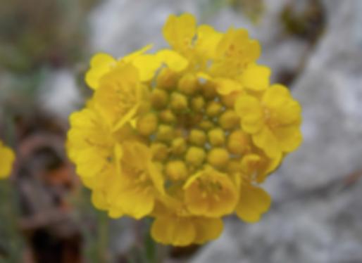 Alyssum montanum L. subsp. montanum (Brassicaceae)