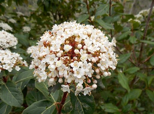 Viburnum tinusL. (Adoxaceae)