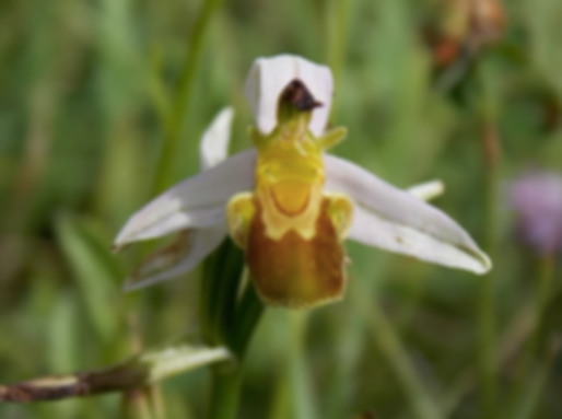 Ophrys apifera var. flavescens Rosbach