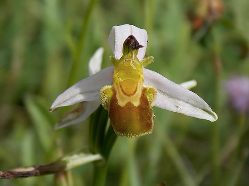 Ophrys apifera var. flavescens Rosbach