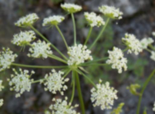 Peucedanum oreoselinum (L.) Moench (Apiaceae)