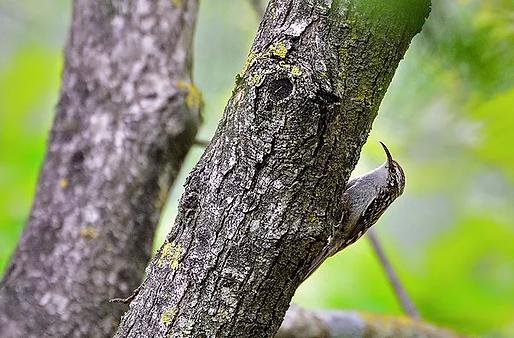 Rampichino (Certhia brachydactyla)