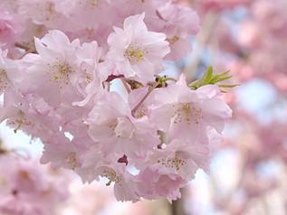 Sakura! Cherry Blossom Tours in Kyoto | MK Taxi Private Tours | Spring 2018