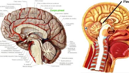 Por Dentro do Cérebro: Tudo que você precisa saber sobre a Glândula Pineal
