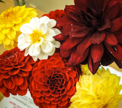 Flowers of the Month Dahlia's