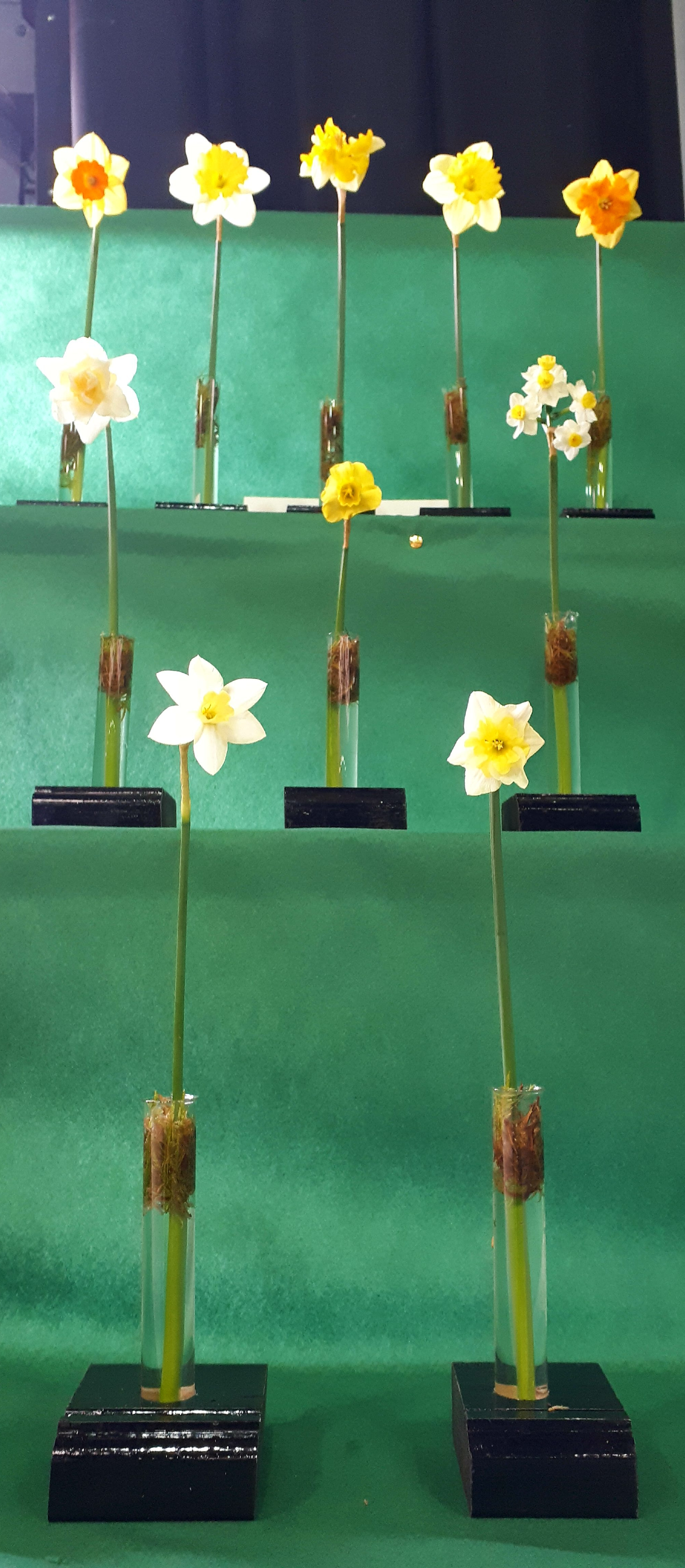 Club entry into Daffodil Show