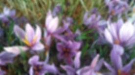 fleurs safran 5-min.jpg