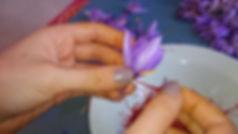 Émondage du safran, extraction du pistil du crocus sativus
