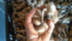 Nos bulbes de safran avant la plantation.