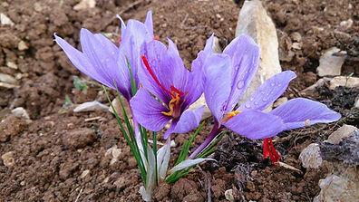 Floraison des fleurs de safran.